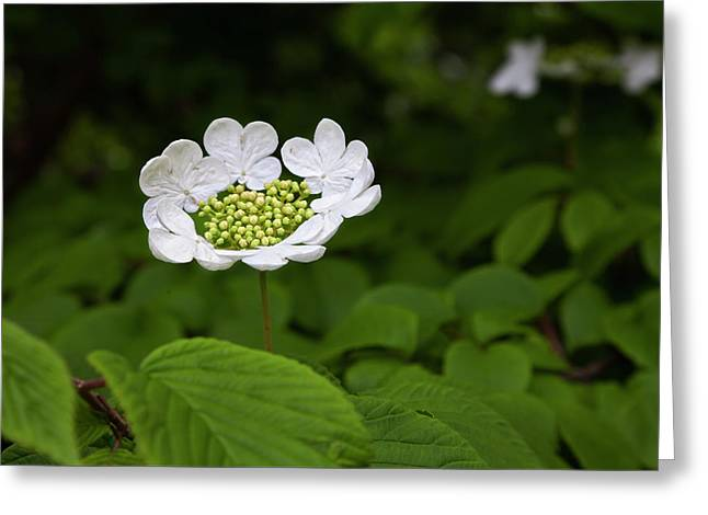 White Blossom Greeting Card by Robert Ullmann