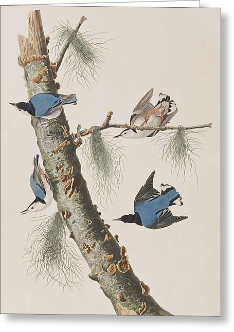 White-breasted Black-capped Nuthatch  Greeting Card