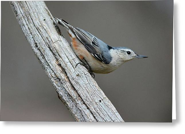 White Breasted Nuthatch 1 Greeting Card by Todd Hostetter