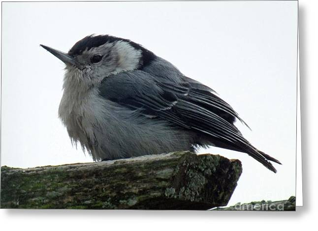 White-breasted Nuthatch Greeting Card by Cindy Treger