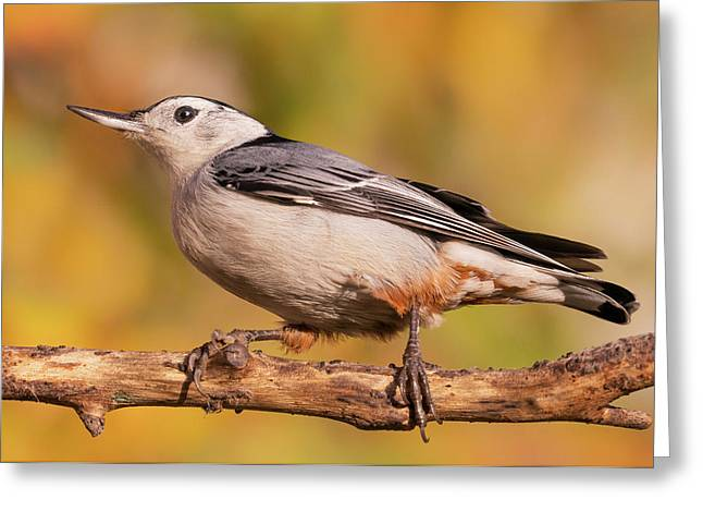 White-breasted Nuthatch In Autumn Greeting Card