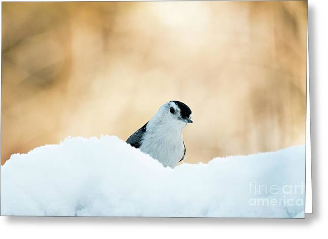 White Breasted Nuthatch In Snow Greeting Card
