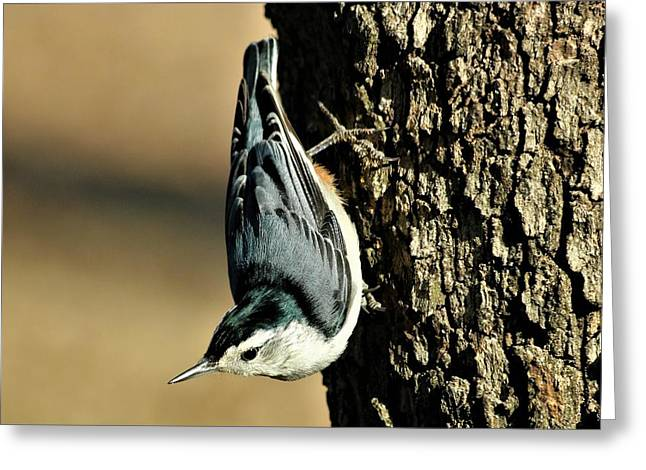 White-breasted Nuthatch On Tree Greeting Card