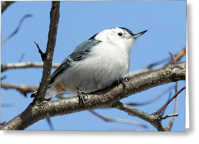 White-breasted Nuthatch Perched Greeting Card