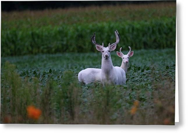 White Bucks Greeting Card