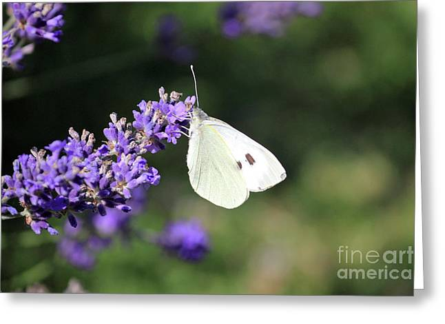 Cabbage White Butterfly On Lavender Greeting Card by Julia Gavin
