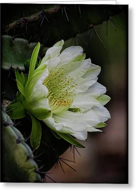 White Cactus Flower  Greeting Card by Saija  Lehtonen