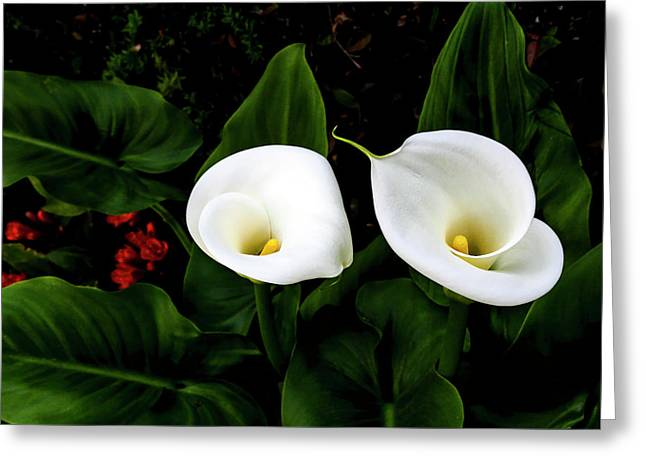 White Calla Lily Greeting Card