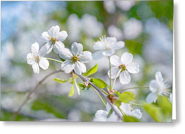 Greeting Card featuring the photograph White Cherry Blossoms In Spring by Alexander Senin