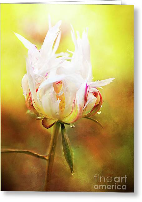 White Chinese Peony Laden With Raindrops Greeting Card