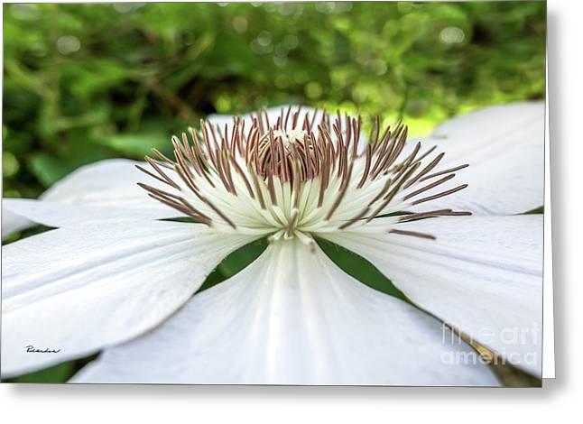 White Clematis Flower Garden 50146 Greeting Card