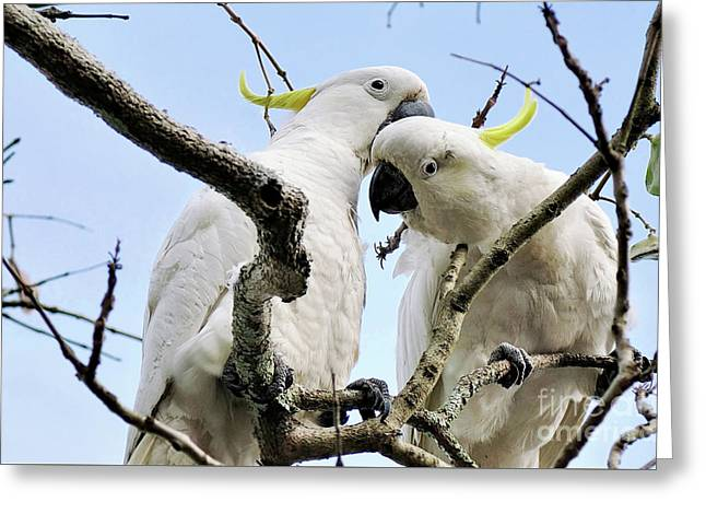 White Cockatoos Greeting Card