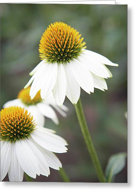 White Coneflower Greeting Card