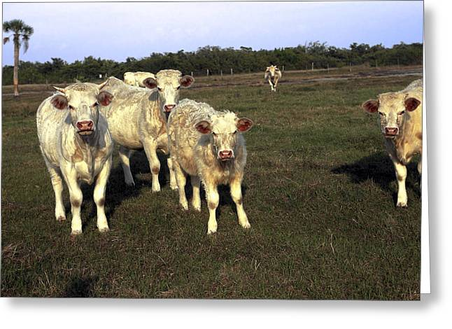 Greeting Card featuring the photograph White Cows by Sally Weigand