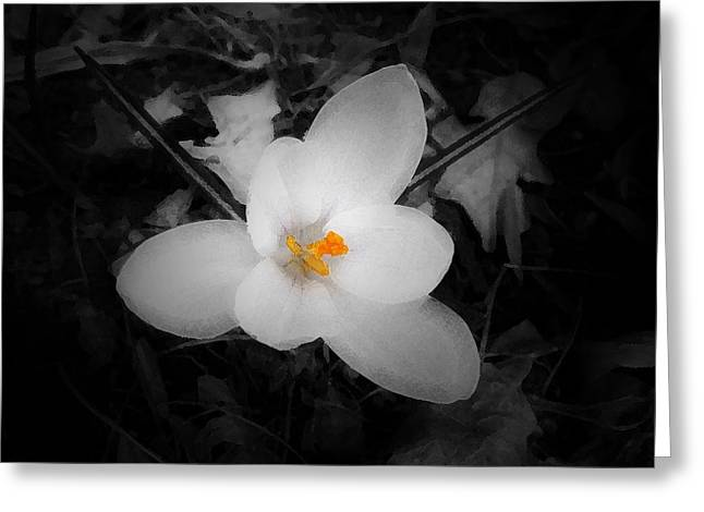 White Crocus - Edit Greeting Card
