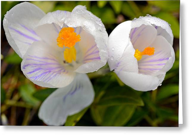 White Crocus Greeting Card by Susan Leggett
