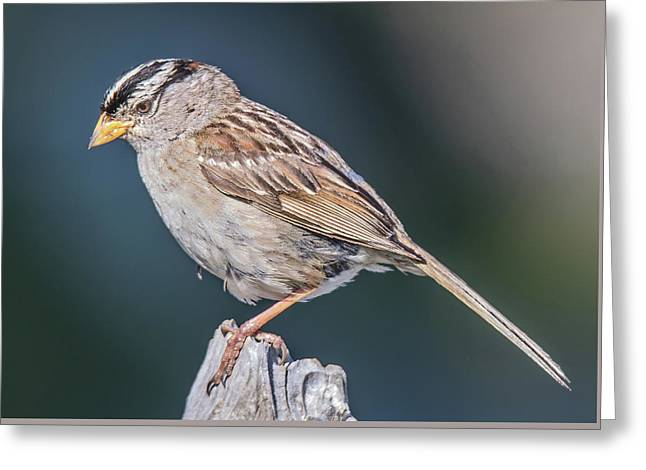 White-crowned Sparrow Greeting Card by Carl Olsen
