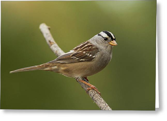 White-crowned Sparrow Greeting Card by Doug Herr