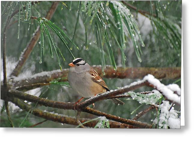 White-crowned Sparrow In The Snow Greeting Card by Kerri Farley