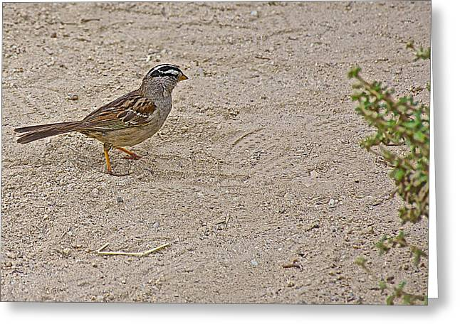 White-crowned Sparrow On The Sand In Point Lobos State Reserve Near Monterey-california  Greeting Card by Ruth Hager