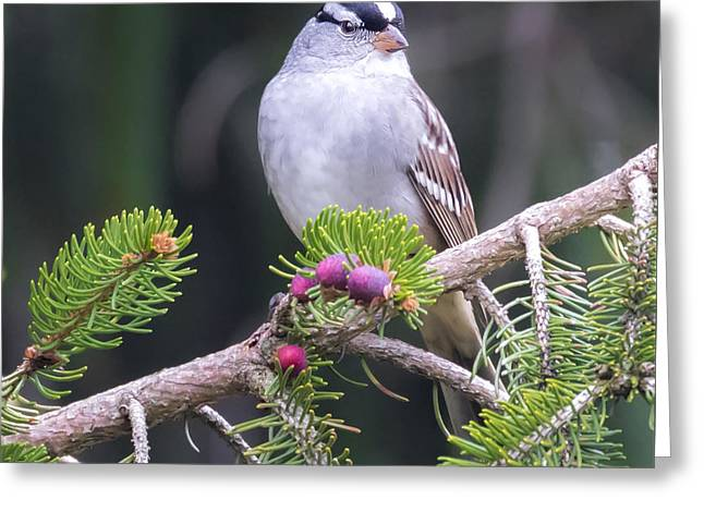 White-crowned Sparrow Greeting Card by Ricky L Jones