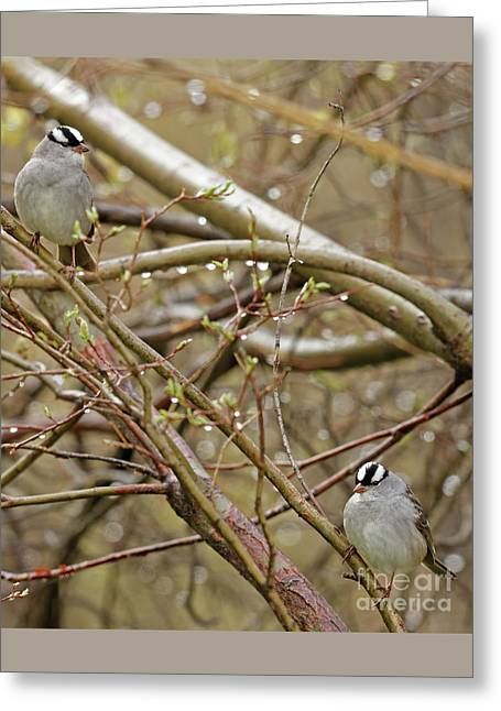 White Crowned Sparrows Greeting Card
