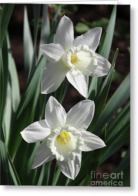 White Daffodils #2 Greeting Card