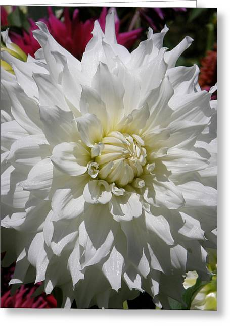White Dahlia Photo Greeting Card by Judy Mercer