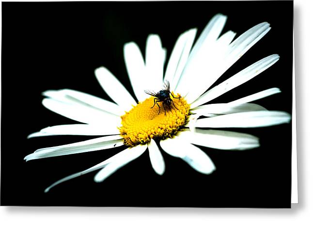 Greeting Card featuring the photograph White Daisy Flower And A Fly by Alexander Senin