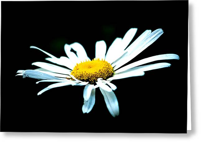 Greeting Card featuring the photograph White Daisy Flower Black Background by Alexander Senin