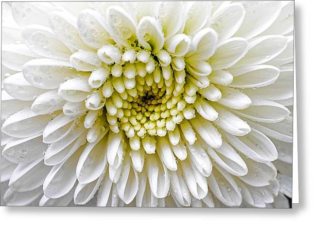 White Dew - Chrysanthemum Greeting Card
