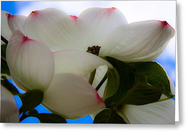 Disambiguations Greeting Cards - White Dogwood Flower Greeting Card by David Patterson