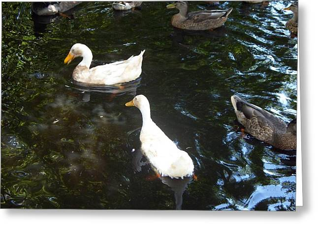 White Ducks Standing Out Greeting Card by Rosanne Bartlett