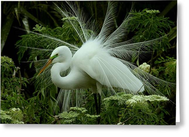 Greeting Card featuring the photograph White Egret Displaying by Myrna Bradshaw