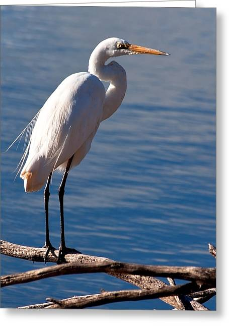 White Egret Greeting Card by Heather Thorning