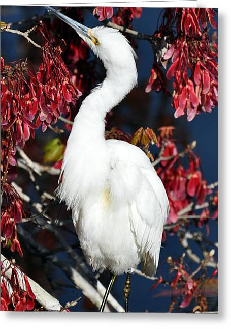 White Egret In Red Maple Tree Greeting Card