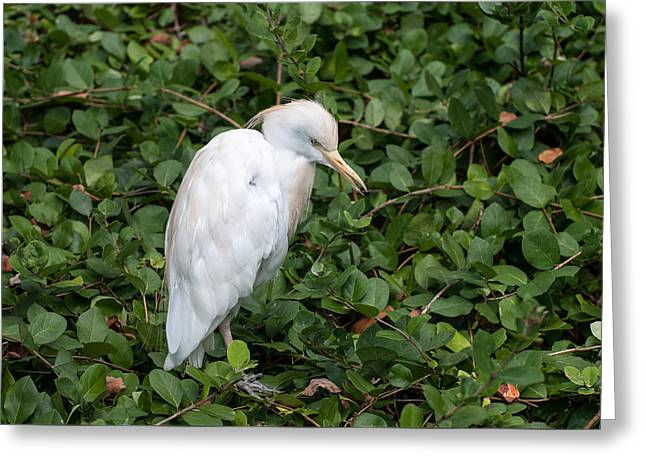 Greeting Card featuring the photograph White Egret by Monte Stevens