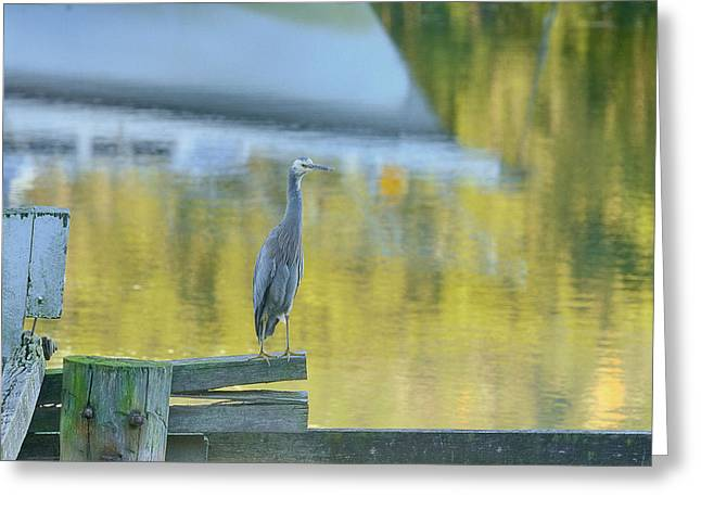 White Faced Heron With Reflections Greeting Card by Barry Culling