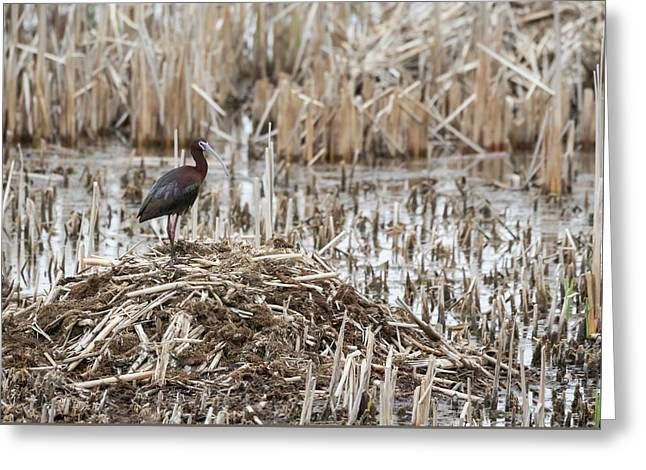White-faced Ibis 2017-1 Greeting Card by Thomas Young