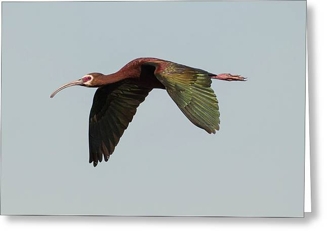 White Faced Ibis Flyby Greeting Card