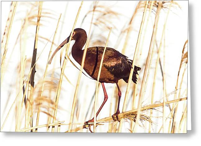 White Faced Ibis In Reeds Greeting Card by Robert Frederick