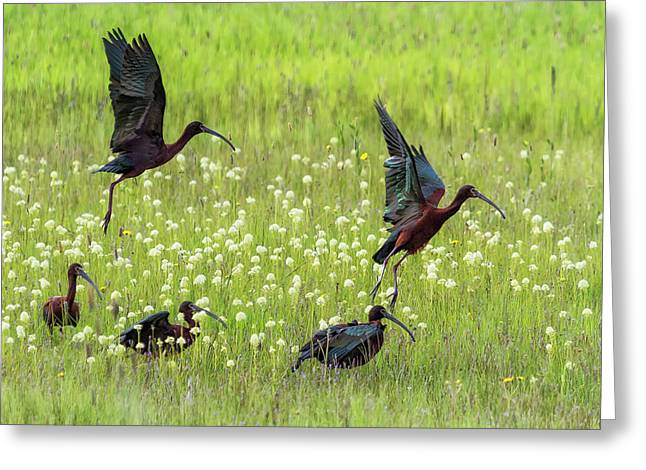 Greeting Card featuring the photograph White-faced Ibis Rising, No. 1 by Belinda Greb