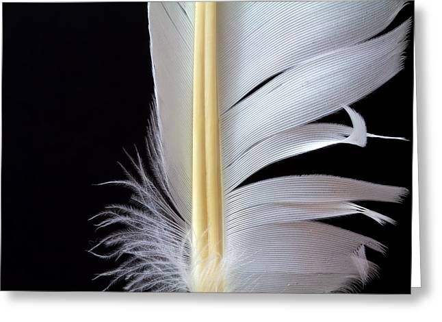 White Feather Greeting Card by Bob Orsillo
