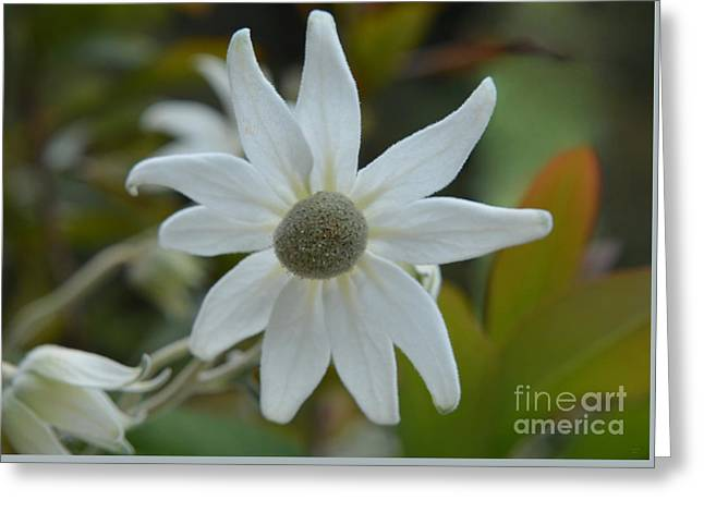 White Flannel Flower Portrait - Australian Native Flower Greeting Card by Geraldine Cote