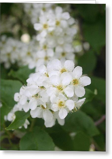 White Flower Greeting Card by Susan Pedrini