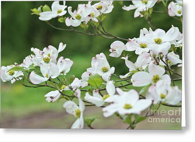 White Flowering Dogwood Greeting Card by Ann Murphy