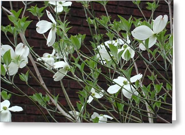 White Flowering Dogwood Greeting Card