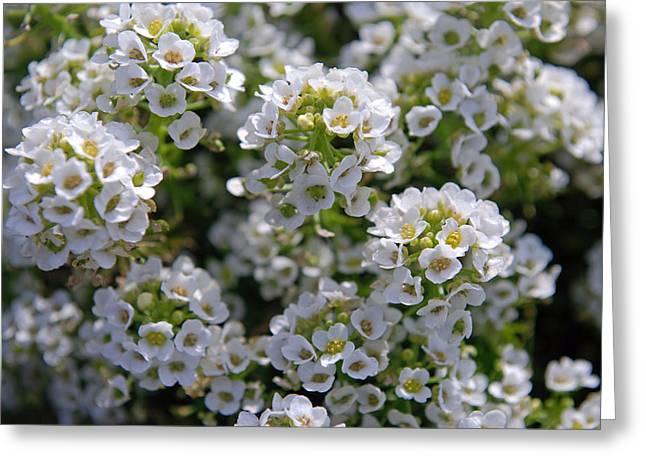 White Flowers Greeting Card by Lisa Gabrius