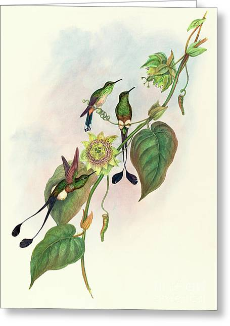 White Footed Racket Tail Greeting Card by John Gould