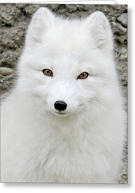 White Fox Greeting Card